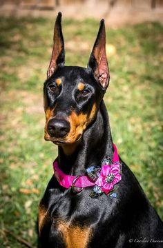 Pretty #Doberman #cuteanimals #funnyanimals #animallovers #animalpics …