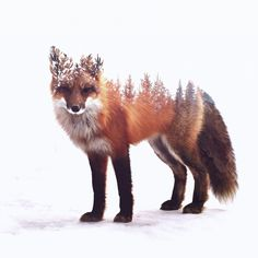 A charming collection of fox prints, portraits and art, for the discerning fox lover. Fit for many spaces, they offer 50 options for fox related home décor. Animal Drawings, Art Drawings, Fuchs Tattoo, Fox Tattoo Design, Fox Drawing, Fox Art, Pics Art, Animal Tattoos, Illustration