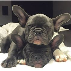 Good morning, French Bulldog Puppies❤