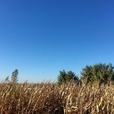 Big Sky & Corn! From inside the corn maze.  #Nebraska #cornfield #countryliving #family #daddytude #apples