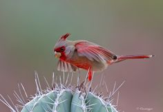 https://flic.kr/p/Rt6Hrf | Pins and needles - Pyrrhuloxia | Desert Botanical Garden - Scottsdale Arizona  First lifer of the trip. This was a rare find too, as only two have been reported in all of the Phoenix area right now.