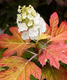 Oakleaf Hydrangea (Hydrangea quercifolia)  Shade tolerant : Autumn foliage
