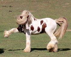 Playful stallion at Watermark Gypsy Cobs