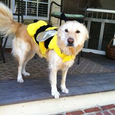 Abbey (a bee!) the dog