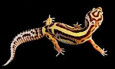 The Leopard Gecko Wiki is a searchable database of Leopard Gecko information designed for both experienced owners, new owners, and future owners. Reptile Cage, Reptile Enclosure, Leopard Gecko Care, Lizard Types, Bearded Dragon Cage, Chameleon Lizard, Guinea Pig Toys, Reptiles And Amphibians, Bold Stripes