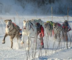 reindeer race in Northern Finland by Henri Bonell, via Flickr