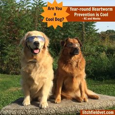 "Meet ""Meeko"" and ""KC"", canine patients of Litchfield Veterinary Hospital and ""spokes-dogs"" for the advantages of using Heartworm Prevention year-round in dogs to prevent Heartworm Disease.  Heartworms are transmitted by mosquitoes and Heartworm preventive protects your dog from Heartworms and Intestinal Parasites.  ""KC"" the Golden Retriever and ""Meeko"" the Retriever Mix, say ""It's cool to use prevention year-round""."