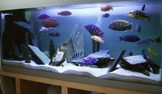 Mixed African Cichlids. This tank is natural to their lake environment, but if it was planted it would pop.
