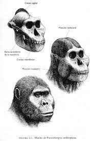 Su rostro es achatado, con mejillas más abultadas y mandíbulas menos prominentes que el Australopithecus afarensis. Posee una pequeña cresta ósea, menor que la del Paranthropus boisei, en la parte superior del cráneo.Había bastante diferencia entre machos y hembras, sobre todo en el desarrollo de las crestas, ausentes o muy poco marcadas en las hembras.Los machos pesaban unos 40 kilos y las hembras alrededor de 32 kilos.