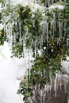 icicles green pine tree winter http://cococozy.com snow storm