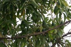 Avocado tree - How to grow & care Buy Avocado Tree, Avocado Tree For Sale, Avocado Plant, Growing Tree, Growing Plants, Vegetative Reproduction, Plant Information, Tree Seeds, Plant Pictures