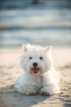 aquabeach:  Small white dog smiling at the beach By angelalumsdenAvailable to license exclusively at Stocksy