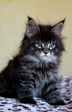 Maine coon #kitten http://www.mainecoonguide.com/how-to-tell-if-a-kitten-is-a-maine-coon/
