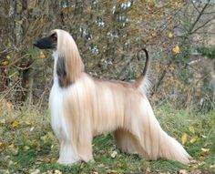 Stunning Afghan Hound. Known for being aloof, dignified, and for having a highly individualized personality, Afghan Hounds are prized and loved by their owners as companions and members of their family. However, it is important to take into account that their coat requires regular grooming, and their larger size necessitates regular exercise.
