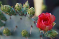 Arizona Highways: September 29, 2015 - A prickly pear cactus blooms at a Gilbert riparian preserve. Photo By: Antonios Printezis