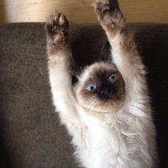 Ragdoll cat :) #ragdoll #cat #romeo