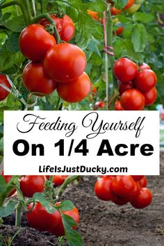 Is it possible to feed yourself on only 1/4 acre? Learn to grow your own fruits and vegetables and make it pretty enough for the front yard.Gardening techniques for feeding yourself.