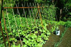 Pole Beans, Tips for Growing Pole Beans, Growing Green Beans Growing Lima Beans, Growing Green Beans, Bean Trellis, Garden Trellis, Bamboo Trellis, Tomato Trellis, Cucumber Trellis, Cucumber Plant, Tomato Cage