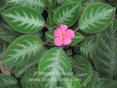 Episcia cupreata Manaus,native to Brasil