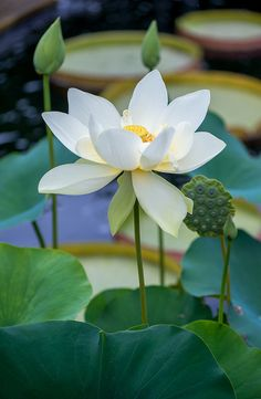 The lotus is a symbol of purity, and it blooms profusely in Buddhist art and literature. Its roots are in muddy water, but the lotus flower rises above the mud to bloom clean and fragrant. posted by Sifu Derek Frearson Water Flowers, Water Plants, Water Garden, Beautiful Flowers, Garden Pond, Chicago Botanic Garden, Blue Lotus, White Lotus Flower, Botanical Gardens
