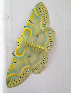 (Iotaphora admirabilis) - found in Nepal, north-east India, Bhutan, northern Thailand, northern Laos and China. Beautiful Creatures, Animals Beautiful, Cute Animals, Butterfly Pictures, Butterfly Wings, Beautiful Bugs, Beautiful Butterflies, Cute Moth, Cool Bugs