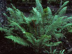 Osmunda cinnamomea (Cinnamon fern) #25175