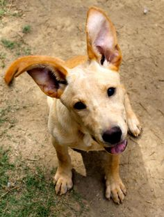 Meet Jacob, a Petfinder adoptable Basenji Dog | Memphis, TN | Hey everybody! My name is Jacob, and I'm less than a year old. I'm about as fun and playful as it...