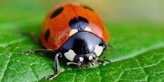 De todos os insetos auxiliares numa horta, este é talvez o mais conhecido. São insaciáveis no combate aos afídios como os pulgões que atacam a seiva das plantas. Saiba mais...