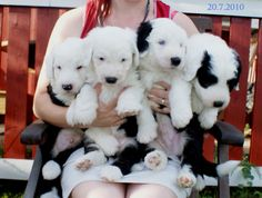 Armful of sheepdogs