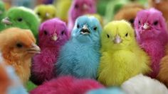easter chicks!