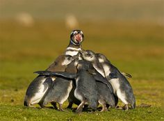 Magellanic penguin with six chicks