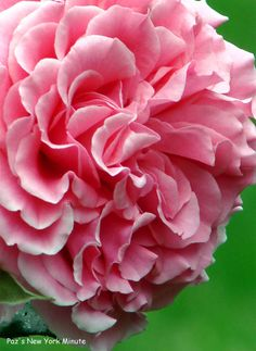 ✯ Queen of Denmark Rose