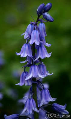Fairy Bells,The World of Flowers bluebells Like: Flowers Nature, Exotic Flowers, My Flower, Wild Flowers, Beautiful Flowers, Spring Flowers, Blue Bell Flowers, Blue Garden, Clematis