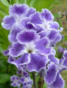"""beauty-rendezvous: """"Duranta 'Sapphire Showers' (by the jeep guy) """" Flowers Nature, Exotic Flowers, Amazing Flowers, Purple Flowers, Beautiful Flowers, Beautiful Artwork, Duranta, Dream Garden, Trees To Plant"""