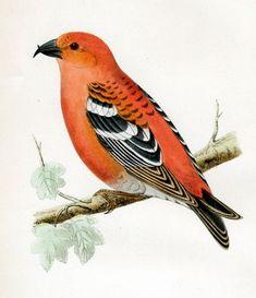Free Vintage Bird Pictures