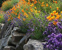 Lavendel und Goldmohn auf Mauersteinen