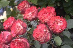 rare rose wallpaper   Rare Roses by LukeFel on deviantART