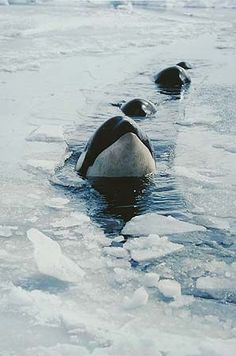 Eliot Porter: Killer Whales, McMurdo Sound, Antarctica, January 1976 (I just think this is cool)