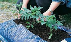 Growing tomatoes in compost grow bags Growing Tomatoes Indoors, Growing Tomatoes In Containers, Growing Vegetables, Grow Tomatoes, Culture Tomate, Faire Son Compost, How To Grow Your Hair Faster, Compost Bags, Tomato Farming