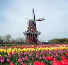 The DeZwaan Windmill during the Holland Tulip Festival ~ Holland, Michigan