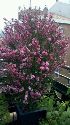 Leptospermum rosa, abril 2014