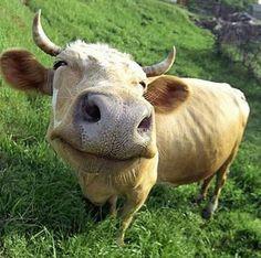 Een vrolijke koe. Meer over koeien? ga naar http://www.milkstory.nl/artikel/vraag-antwoord-geven-koeien-altijd-melk #koe #cow #dier #beest #animal #boerderij