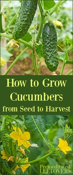 to Grow Cucumbers in Your Garden. Includes gardening tips for growing cucumbers, including how to plant cucumber seeds and how to transplant cucumber seedlings, and how to care for cucumbers. Cucumber Plant, Cucumber Seeds, Cucumber Salad, Types Of Vegetables, Growing Vegetables, Growing Plants, Planting Plants, Growing Seeds, Gardens