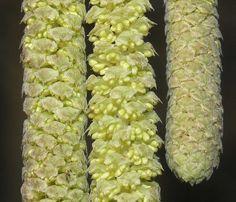 Betulaceae seeds
