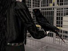 Mod The Sims - A black bird Sims 2 Pets, Sims Cc, Bird, Black, 1st Grades, Black People, All Black, Birds