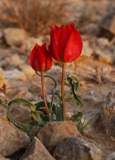 "Tulips in the Negev, Israel  Tulips mean fame and perfect love. Red tulips mean ""Believe me"" and are a declaration of true love. I'm going."