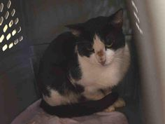 FLINSTONE - A1091444 - - Staten Island  ***TO BE DESTROYED 10/01/16***YABBA DABBA DOO…FLINSTONE NEEDS YOU! Two year old black and white cutie, Flinstone is obviously a scared boy who has spent time on the street recently. He was minding his own biz when someone trapped him and dumped him at the kill happy shelter. He's got a few scratches on his nose but is otherwise, healthy. Just very scared. He needs a kind, patient purrson to offer him a new leash on life by
