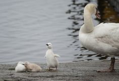 Baby swan stretches in Michigan
