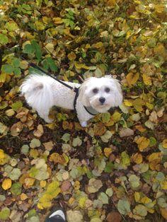 My Bichon Havanese, Milo, loves fall.