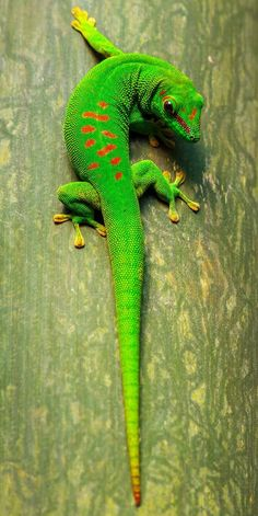 Green Gecko Photo by Tony Fernandez -- National Geographic Your Shot reptiles Nature Animals, Animals And Pets, Cute Animals, Green Animals, Jungle Animals, Reptiles Et Amphibiens, Mammals, Wildlife Photography, Animal Photography